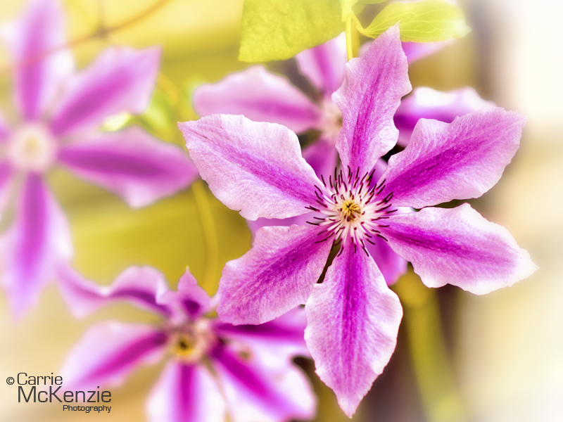 clematis pink, pink clematis, pink, clematis, flower, garden, plants, horticulture, flower photography