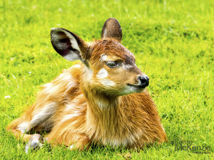 antelope, baby antelope, animal, wildlife