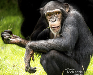 chimpanzee, monkey, animal, wildlife, nature