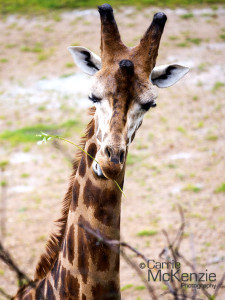 giraffe, animal, wildlife, nature