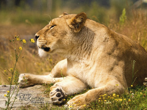 lioness, animal, wildlife, lioness smelling the flowers