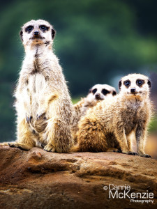 meerkats, animal, wildlife
