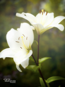 lily, flower, plant, horticulture, garden