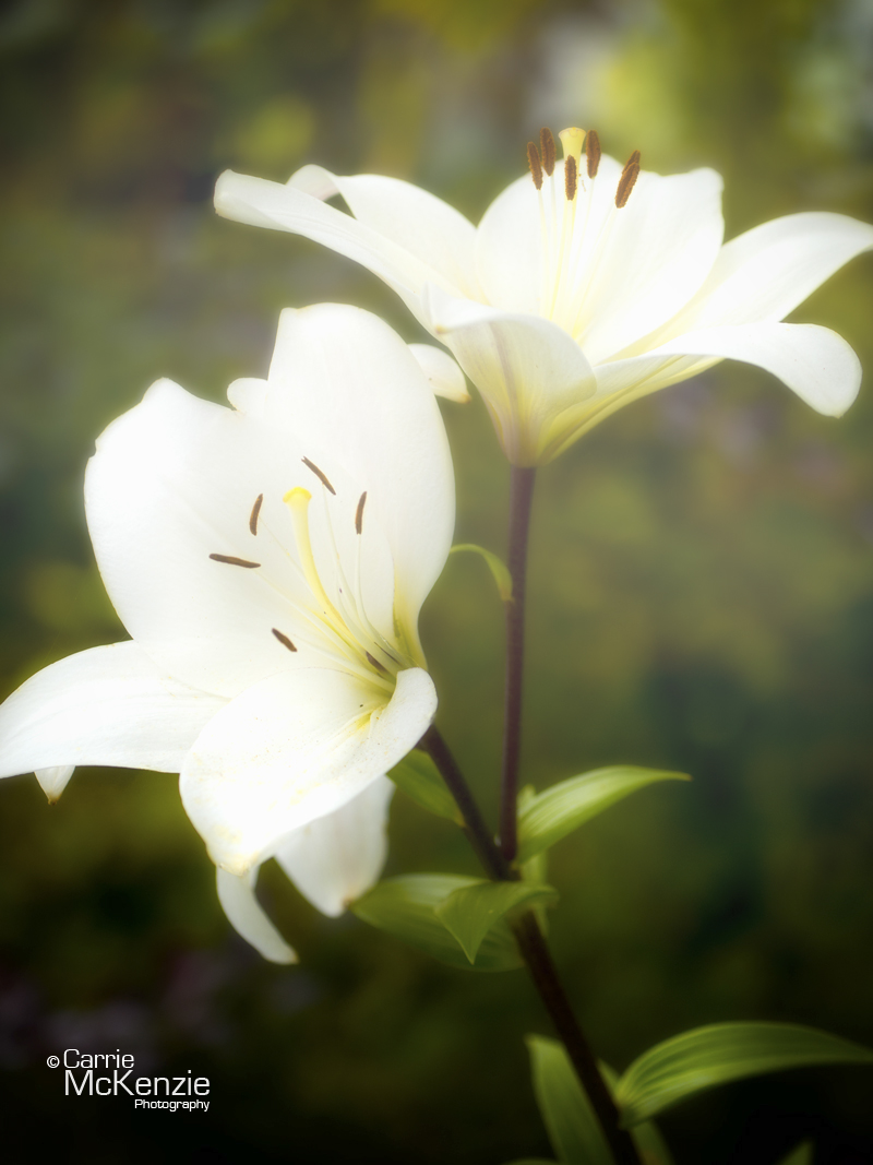 LILY, LILLIES, WHITE LILLIES, LILLIES WHITE, FLOWER, GARDEN, HORTICULTURE