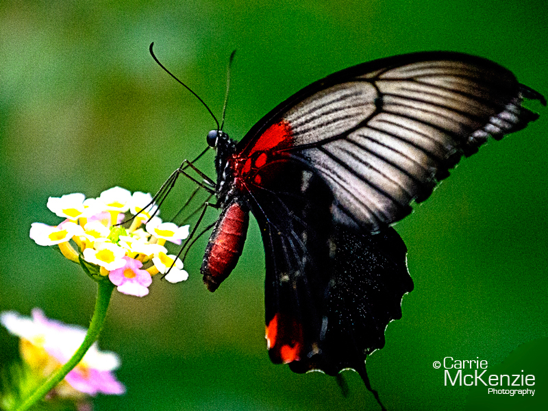 butterfly, nature, wildlife, photography, butterfly poised