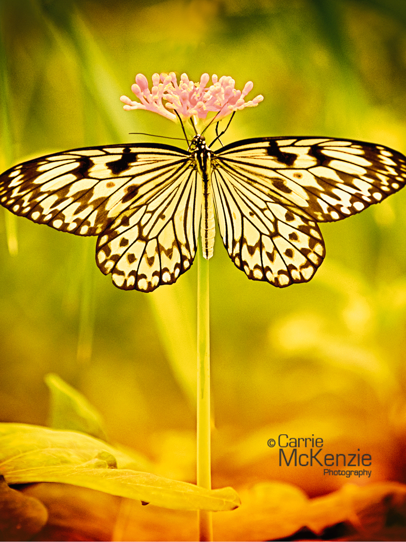 butterfly, butterfly balance, wildlife, nature, countryside