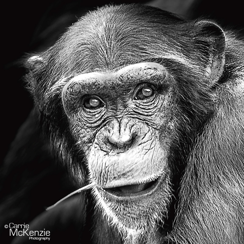 chimp, chimpanzee, monkey, wildlife, nature