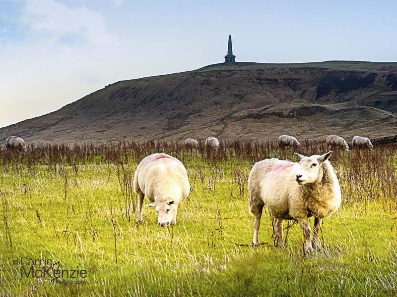 sheep, sheep at stoodley pike, stoodley pike, yorkshire, calderdale, yorkshire landscape, countryside, nature