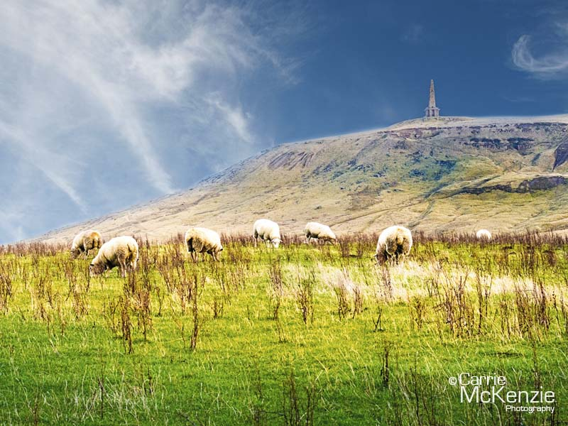sheep, stoodley pike, yorkshire, yorkshire landscape, calderdale, countryside, stoodley pike yorkshire